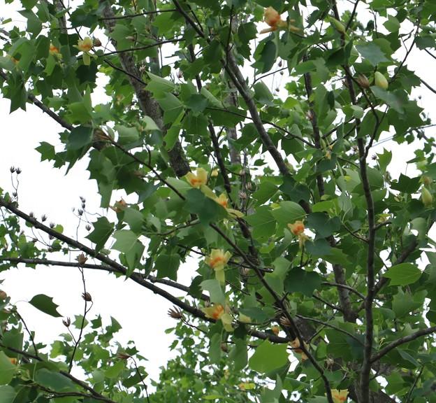 ユリノキ(百合の木) モクレン科 別名:ハンテンボク(半纏木)レンゲボク(蓮華木)チューリップの木