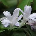 Photos: イナモリソウ(稲森草) アカネ科 白花8月~9月咲くシロバナイナモリソウ(白花稲森草)は此の花とは別のものです。後のアップ写真と見比べて下さい。