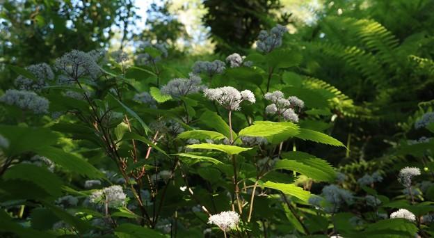 森林公園コアジサイ(小紫陽花) アジサイ科