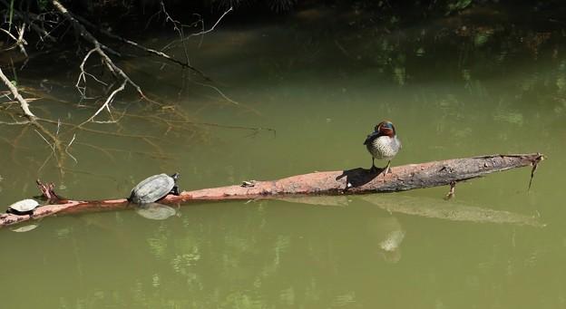 コガモ(小鴨) カモ科と亀