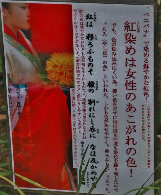 万葉集:ベニバナ(紅花) キク科 古名:くれなゐ(紅)