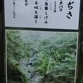 Photos: 万葉集:やまぢさ イワタバコ(岩煙草) イワタバコ科