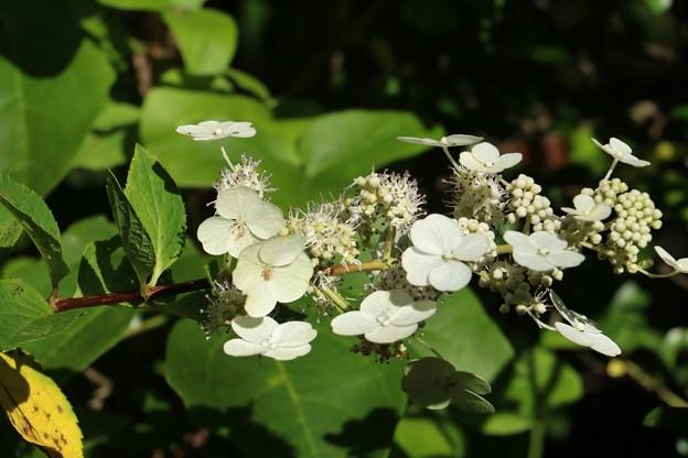 ノリウツギ(糊空木) ユキノシタ科~アジサイ科