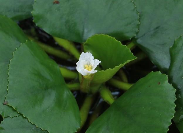 万葉集第七巻 ー1249 雑歌: 君がため浮沼の池の菱摘むと
