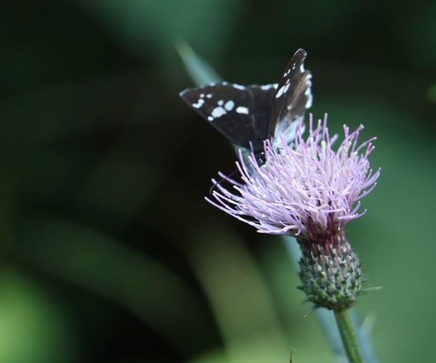 ダイミョウセセリ(大名挵) チョウ目(鱗翅目)セセリチョウ科とスズカアザミ(鈴鹿薊) キク科