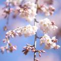 写真: 京都御苑の春