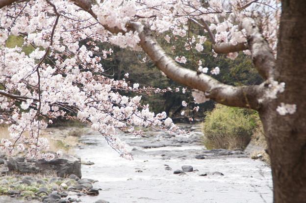 桜_川 C04014