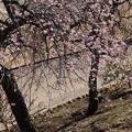 写真: 枝垂れ梅_公園 D6710