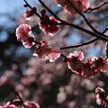 写真: 紅梅_公園 D6740