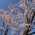 写真: 桜_公園 D6852