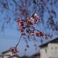 桜_遊歩道 D6883