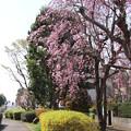 枝垂れ桜_遊歩道 D6887
