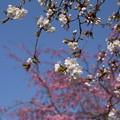 枝垂れ桜_遊歩道 D6890