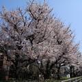 桜_遊歩道 D6892