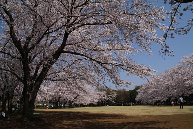 桜_公園 D6897