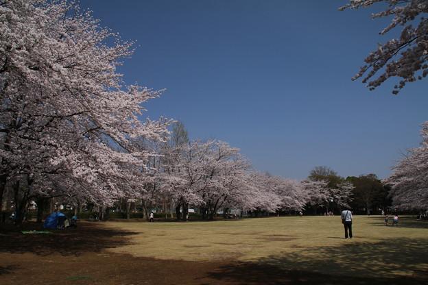 桜_公園 D6898