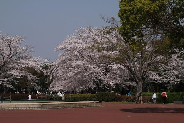桜_公園 D6900
