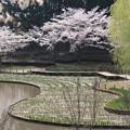 桜_公園 D6902
