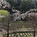 桜_公園 D6905