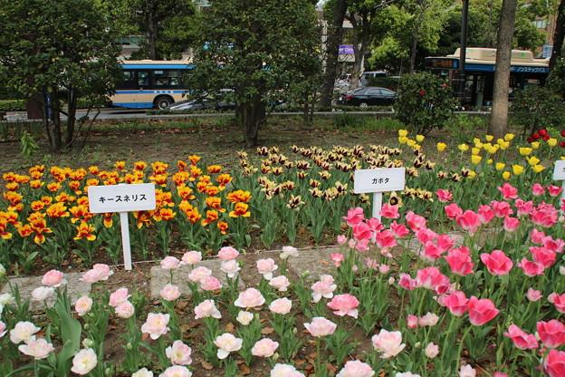 チューリップ_横浜 D7164