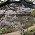 桜_公園 D6908