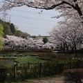 桜_公園 D6913