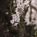 桜_公園 D6914