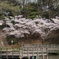 桜_公園 D6915