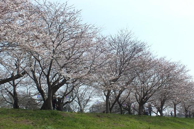桜_福岡堰 F2095