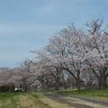 桜_福岡堰 F2096