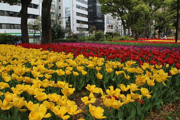チューリップ_横浜 D7175