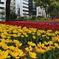 写真: チューリップ_横浜 D7175