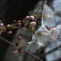 桜_福岡堰 F2099