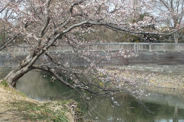 桜_福岡堰 F2101