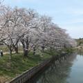 桜_福岡堰 F2104