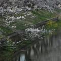 桜_福岡堰 F2105