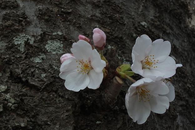 桜_福岡堰 F2107