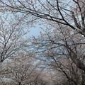 桜_福岡堰 F2111
