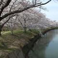 桜_福岡堰 F2113