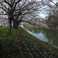 桜_福岡堰 F2115