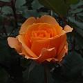 写真: 薔薇_公園 F2434