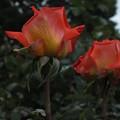 写真: 薔薇_公園 F2443