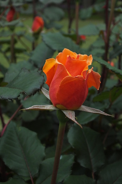 薔薇_公園 F2446