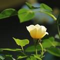 バラ_花壇 D7346