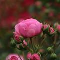 薔薇_公園 D7363