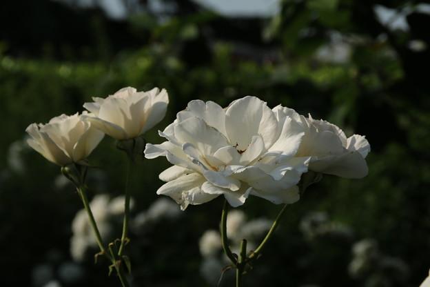 バラ_太田 D7597