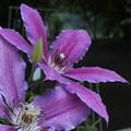 クレマチス_植物園 F2491