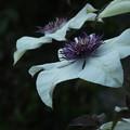クレマチス_植物園 F2494