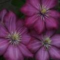 クレマチス_植物園 F2501