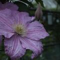 クレマチス_植物園 F2506